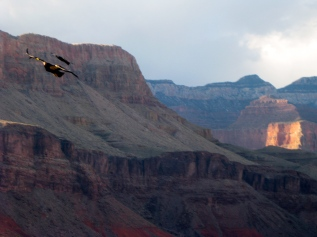 Raven Chasing Condor