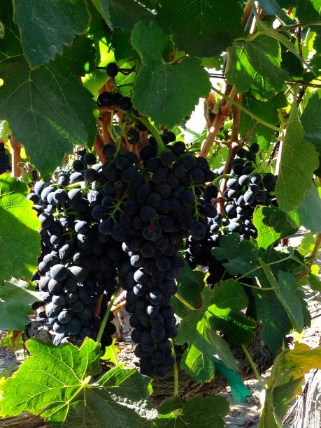 um, grapes?